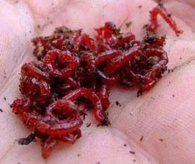 Fagyasztott vörös szúnyoglárva 50 gr